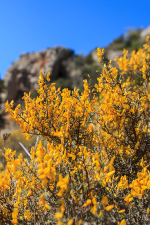 The Yellow scorpius Genista that grows in the Sierra del Montsant