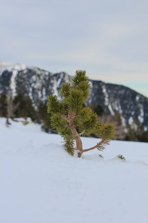 Little pine coming out of the snow vertical. Nature and vegetation concept
