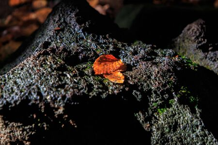 Brown leaves on volcanic stone in autumn.Autumn concept