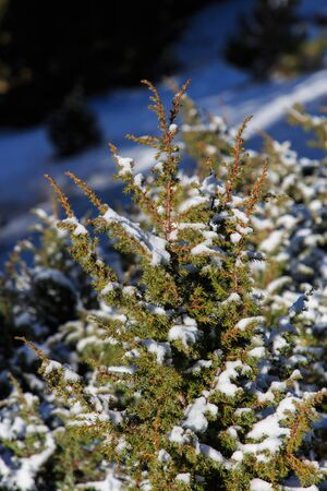 Chopped small fir with snow on top. Flora and Nature concept