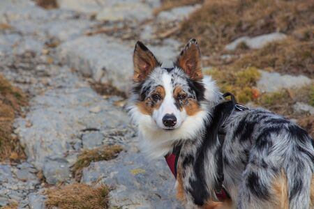 Close-up of tricolor border collie dog in the mountains Foto de archivo