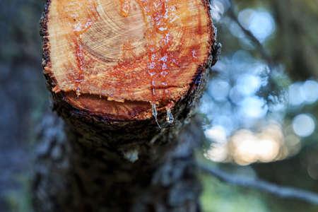 Drops of resin on a freshly cut branch. Nature elements concept Foto de archivo