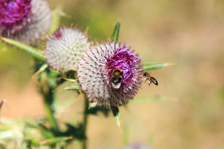 Bee flying and eating on tuff plant. Insects in Nature concept Foto de archivo