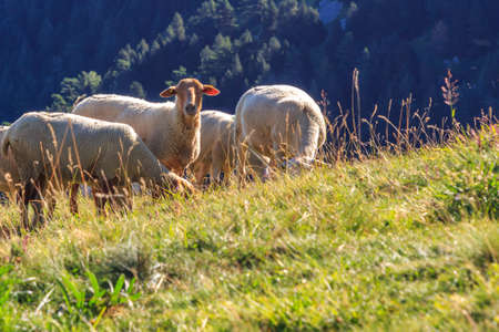 Group of white sheep grazing and one looking at the photographer. Wild animals concept Foto de archivo