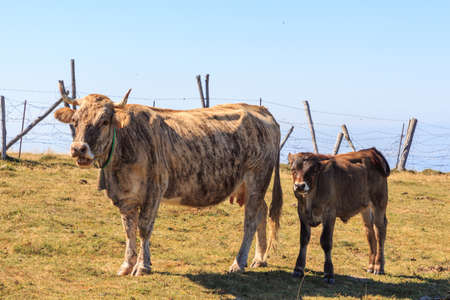 Striped cow with her calf on the mountain grazing. Wild life concept Foto de archivo