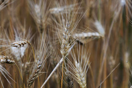 Wheat plant in the field about to harvest. Basic food concept