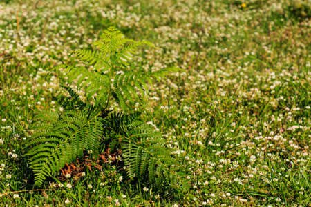 Small fern plant surrounded by white flowers. Plants in the mountain concept Foto de archivo