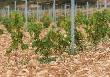Group of small wine vines in the field
