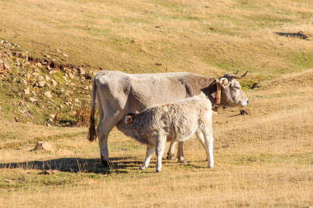 Brown cow feeding her calf in the mountains
