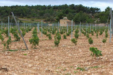 Group of wine vines in the field Foto de archivo