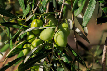 Bunch of green olives with leaves on the tree with unfocused background. Fruits of the field concept
