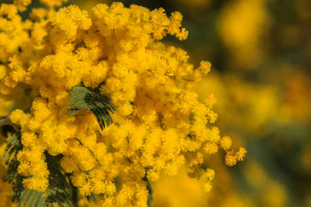 Yellow flower bouquet of the mimosa with green leaves Foto de archivo