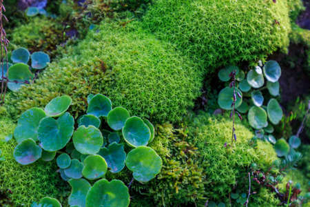 Green moss with round clover leaves Foto de archivo