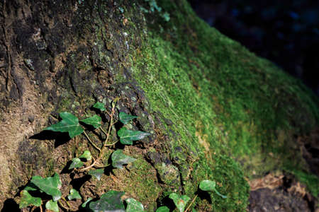 Small creeper leaves climbing up tree with green moss