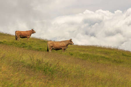 Two brown cows on the green mountain with rain clouds in the background