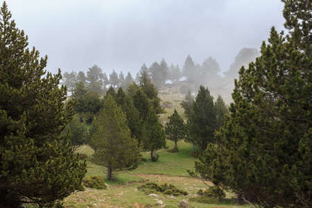 Tall pine forest with low fog Foto de archivo