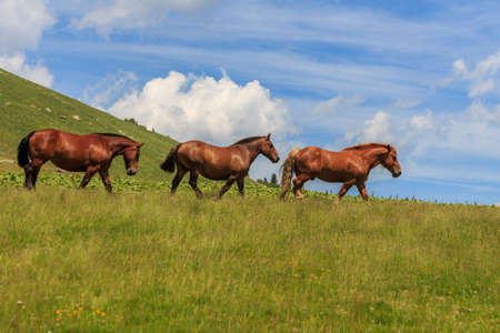Group of three brown adult horses in the green mountain