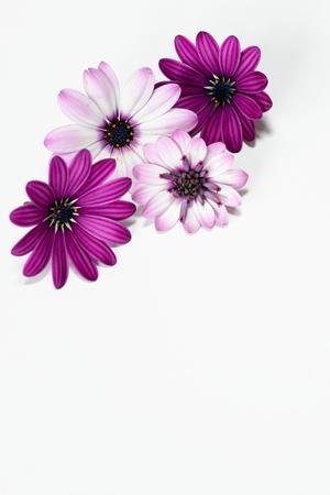 purple and white daisies photo