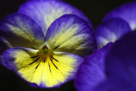 wiolet pansy flower photo
