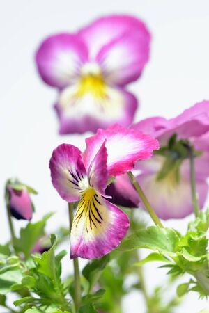 Pink pansy flower stock photo picture and royalty free image image pink pansy flower photo mightylinksfo Choice Image