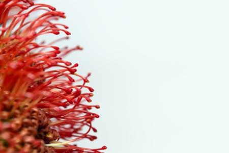 protea flower: protea flower Stock Photo
