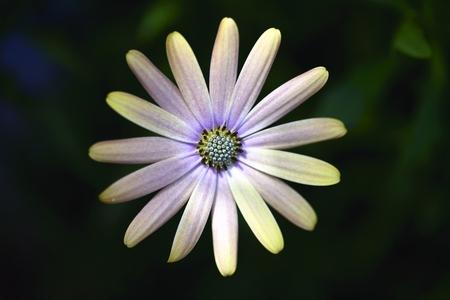 purple and yellow daisy photo
