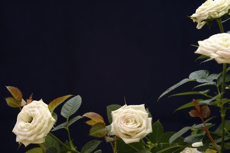 funeral background: white roses on black background