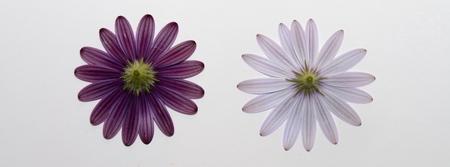 white and purple daisies photo
