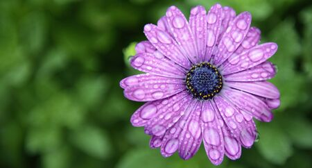 purple daisy and water drops Stock Photo