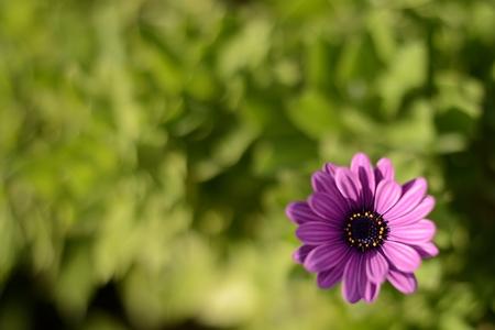 purpple daisy background