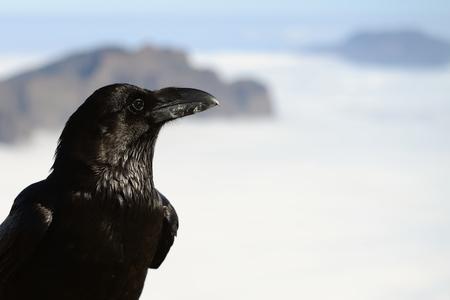 the raven Stock Photo