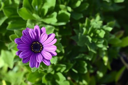 purple daisy background