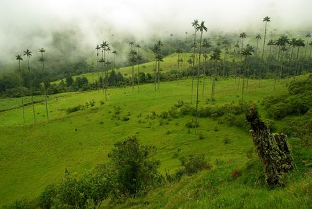 Cocora Valley near Salento in Colombia and Colombia s national tree : the wax palm tree photo