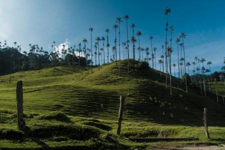 cafe colombiano: Café paisaje triángulo en el Valle de Cocora cerca de Salento en Colombia