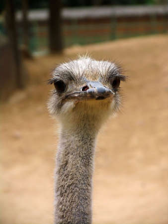 An ostrich portrait Stock Photo - 4923284