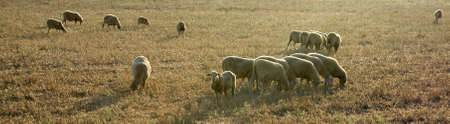 A group of sheeps on the meadow, one  of them looking directly to you Stock Photo - 5461239