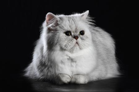 chinchilla: adult chinchilla persian cat on black background