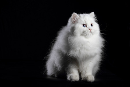 blue eyes: young white persian cat with blue eyes on black background 스톡 사진