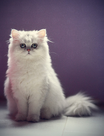 ojos verdes: Chichilla young persian cat with green eyes Foto de archivo