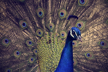 blue peacock with opened tail multicolor Stock Photo