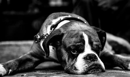 rabies: Bull dog