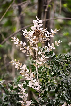 white and green butchers-broom