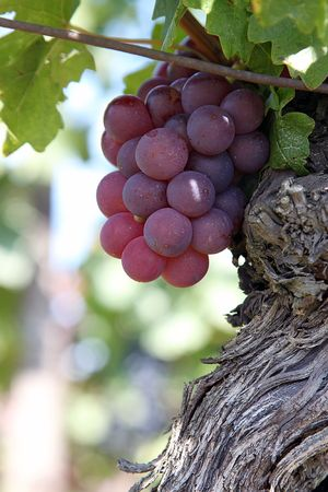 a bunch of grapes,the wine growing estate Stock Photo