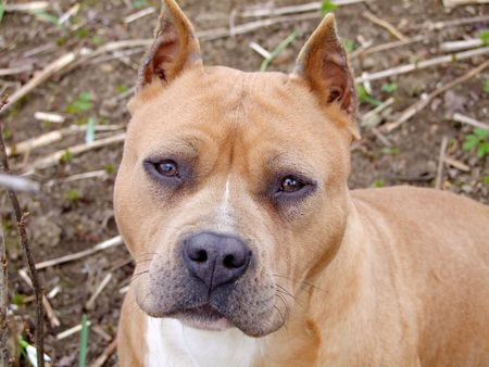 guard dog: a hunting dog,a guard dog,terrier Stock Photo