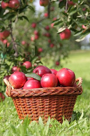apple harvests,some red apples,apple  photo