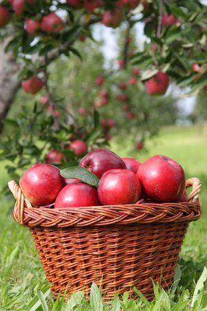 harvests: apple harvests,some red apples,apple