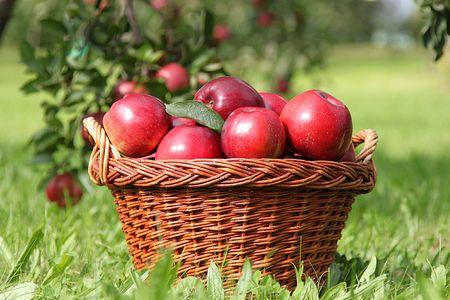 Apple tree: mela raccolti, alcune mele rosse, mela  Archivio Fotografico