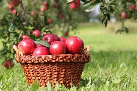 apfel: Apfel-Ernte, einige rote Äpfel, Apfel