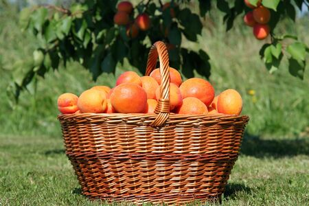 Fresh  apricots in a basket on the green grass photo