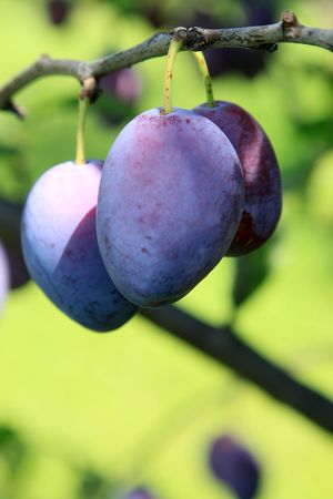 Detail view of plum on branch photo